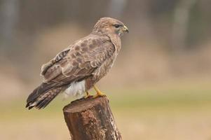 common buzzard photo