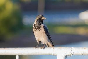 crow on a handrail