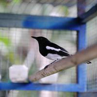 Beautiful Magpie