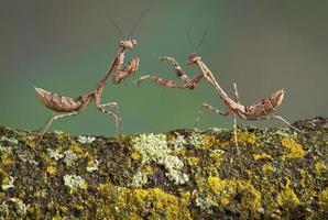 Dead leaf mantis play photo