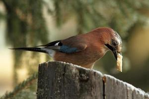 jay eating a piece of bread