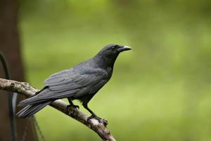 gran cuervo negro en la extremidad desnuda
