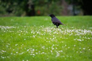 Carrion crow photo