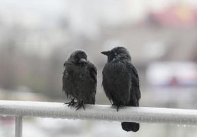 dos cuervos mojados sentados en el riel del balcón