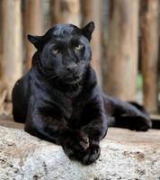 Black leopard photo