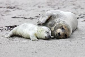 Grey seal mother and puppy