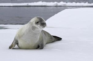 crabeater seal on an ice floe in the Antarctic