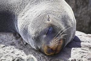 Sleepy fur seal