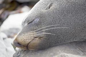 foca durmiendo
