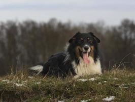 outdoor australian shepherd portrait