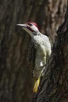 pájaro carpintero de bennett en el parque nacional kruger foto