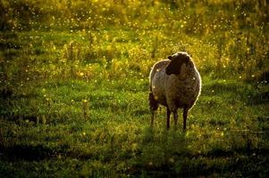 Sheep on the lawn.