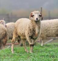 Sheep photo