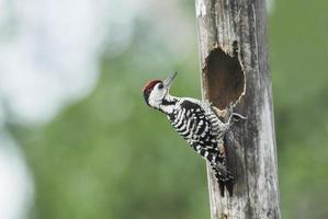Woodpecker (Spot-breasted Woodpecker) nesting birds in green bac