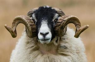 Swaledale Ram Horn Symmetry