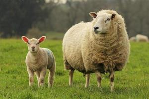 Sheep and lamb standing in field of grass