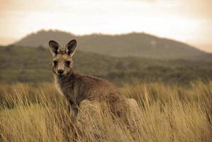 Wild kangaroo in outback photo