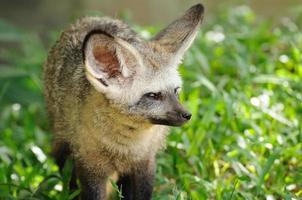 Single bat-eared-fox in public zoo, photo