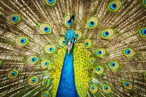 peacock with spread feathers out photo