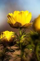 Adonis vernalis. False Hellebore photo