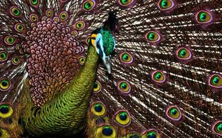 pavo real con plumas foto