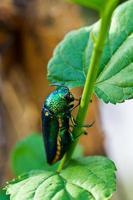 escarabajo. foto