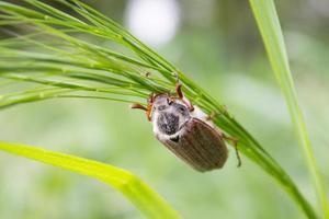 puede escarabajo foto