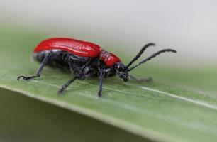 Escarabajo de lirio escarlata (lilioceris lilii)