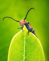 Milkweed Beetle photo