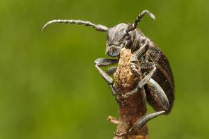 European longhorn beetle closeup photo