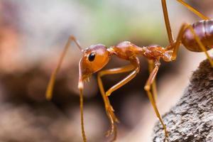 hormiga tejedora roja