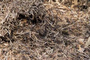 Un montón de hormigas en el viejo tocón de madera. foto