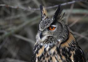 Eurasian Eagle Owl Sideview