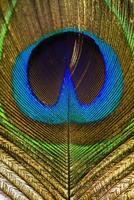 peacock feather. photo