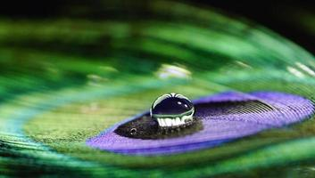 Water drop on peacock feather photo