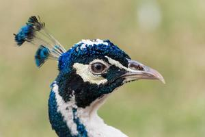 perfil de pavo real azul foto