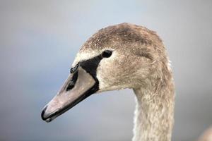 swan portret
