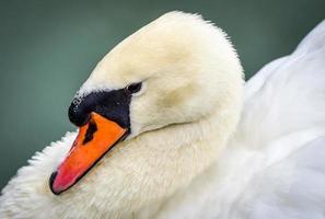 cisne muda cygnus olor. close-ups em sua lagoa.