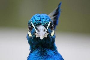 Peacock facing the Camera