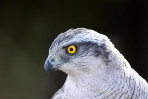 Close up Hawk goshawk photo