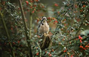 Great spotted woodpecker, in a berry bush