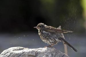 Sparrow with water spray