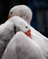 Goose misunderstanding photo
