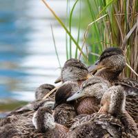 patos jóvenes