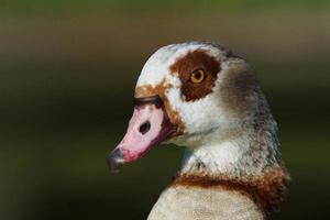 Egyptian Goose, Alopochen aegyptiaca photo