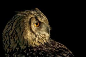 Portrait of a european eagle owl.