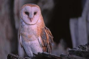 Bird-Barn owl