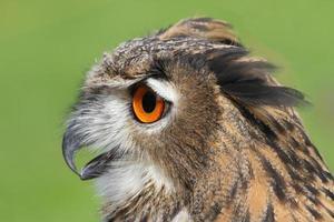 OWL with huge orange eyes and soffgli the open beak photo
