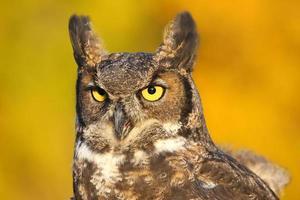 Portrait of Great horned owl