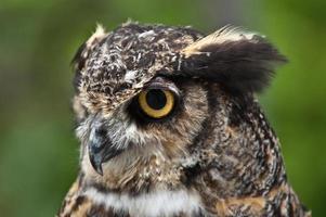semi-perfil de búho cornudo foto